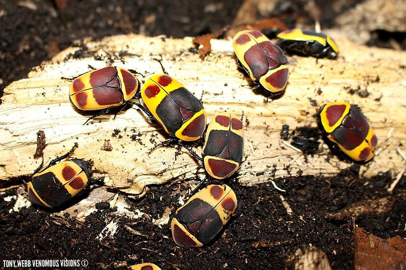 Pachnoda marginata African sun beetles for sale