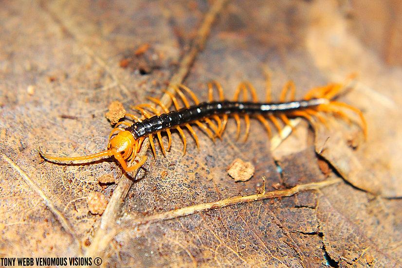giant vietnamese centipede for sale