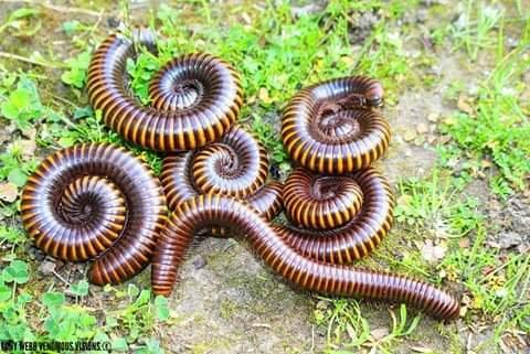 Spirostreptidae sp - Giant new Cross river millipede