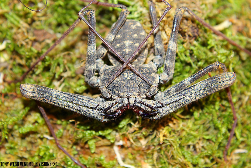 Damon medius - Tailless Whip scorpion