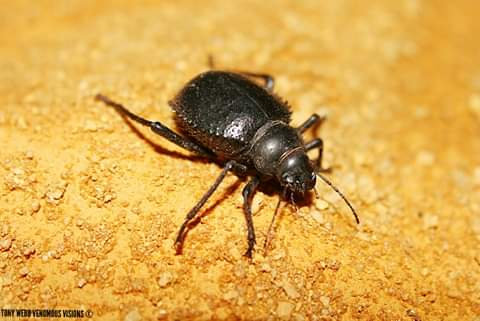 Prionotheca coronata - Long legged Darkling beetle for sale