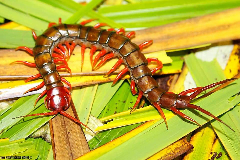 Scolopendra subspinipes java - java red head centipede for sale