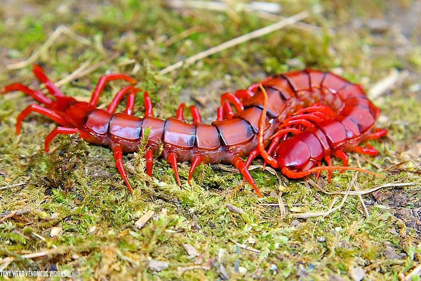 Scolopendra dehaani - Malaysian cherry red centipede