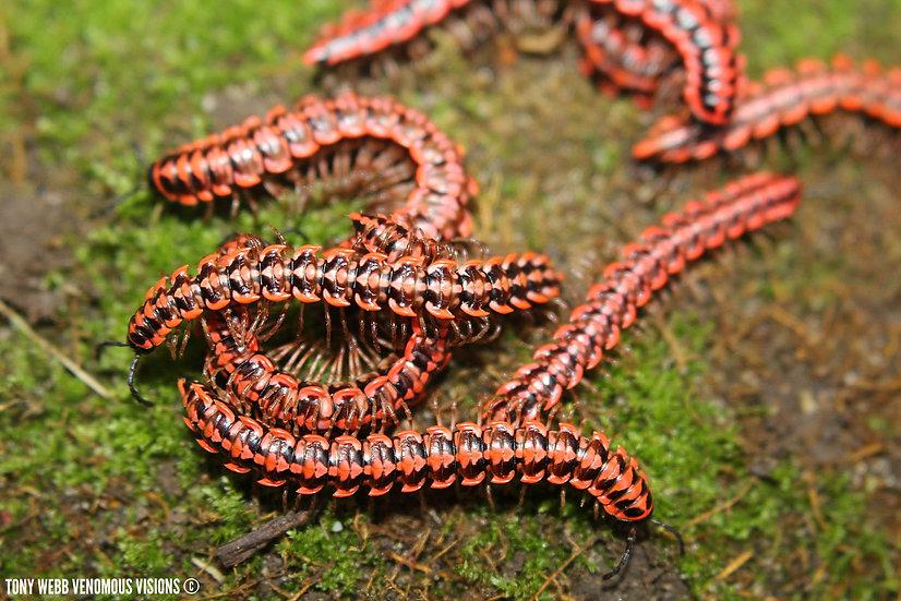 Antheromorpha uncinata - Red thai flat millipedes