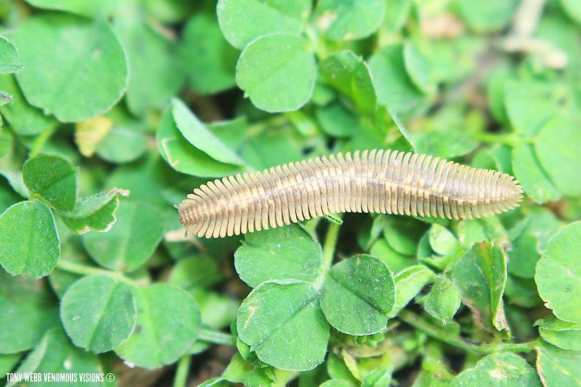 Flat millipede for sale uk