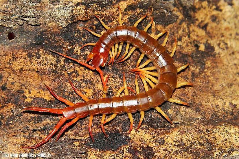 Scolopendra dehaani - Thailand flame tip centipede
