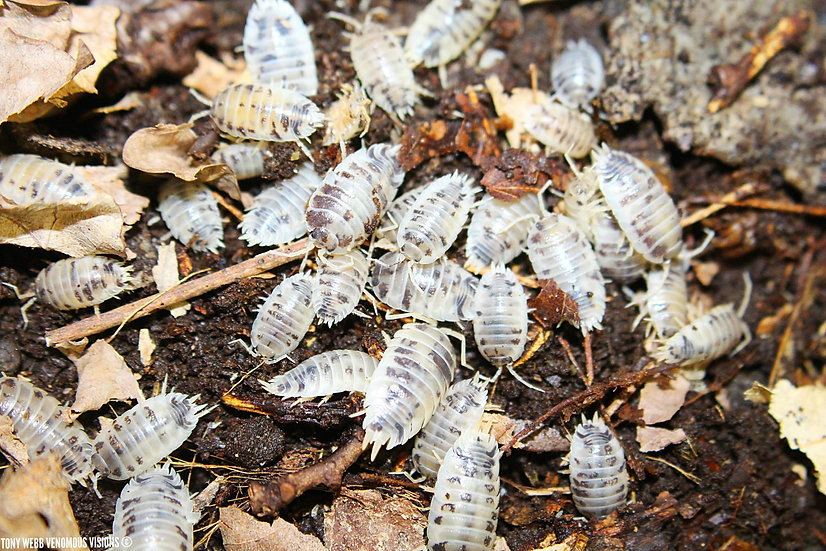 Porcellio laevis dairy cow isopods for sale