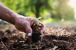 close-up-hand-planting-tomato-garden.jpg