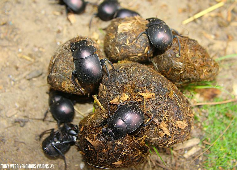 Dung beetle dinner balls
