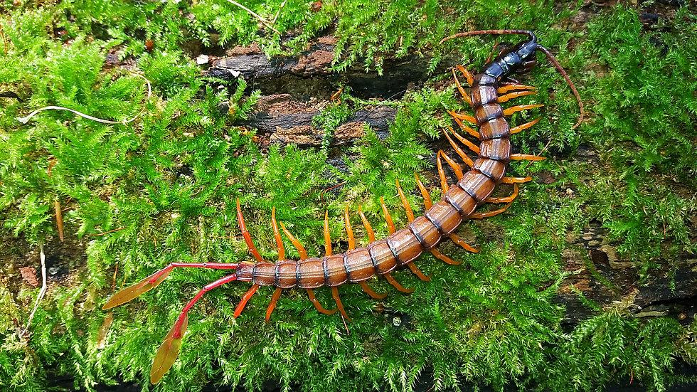 alipes multicostis flag tail centipede