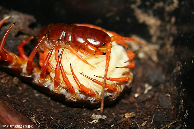 centipede with babies
