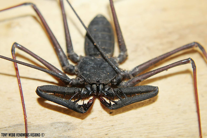 Catageus sp Malaysia - Giant long clawed whip scorpion