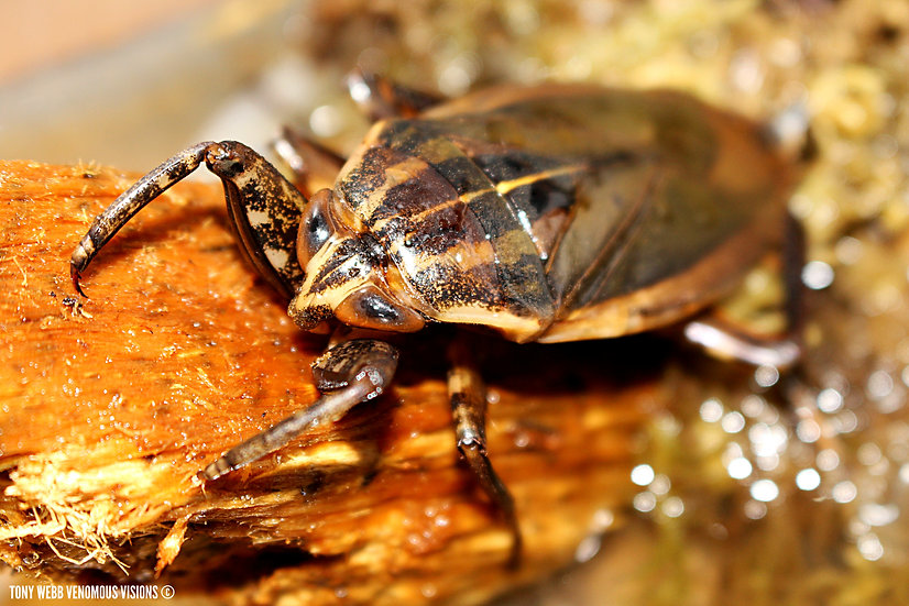Giant african water bug for sale