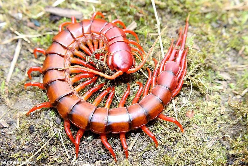 Scolopendra dehaani sp. Sulawesi cherry red