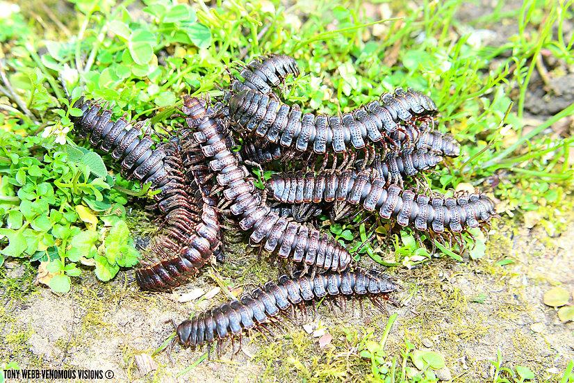 Coromus variabilis - midnight flat millipede