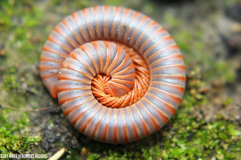 Spirobolida sp - Thai rainbow millipedes
