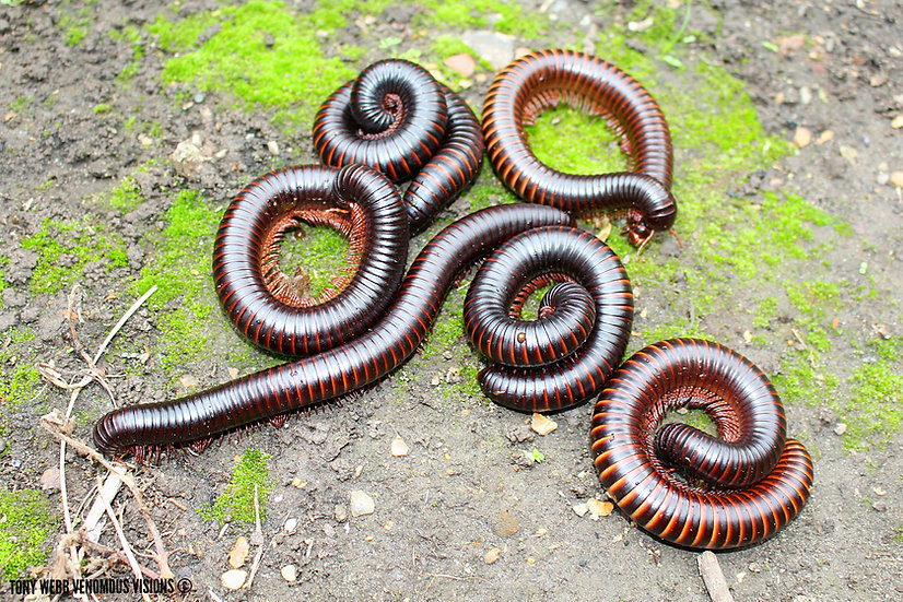 Giant African millipede for sale