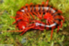 Scolopendra Dehaani sp Cherry Red Centipede