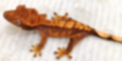 Pinstripe crested gecko for sale