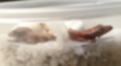 Geckodome High End Crested Geckos