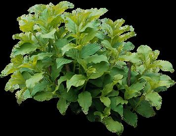 shrub plant bush
