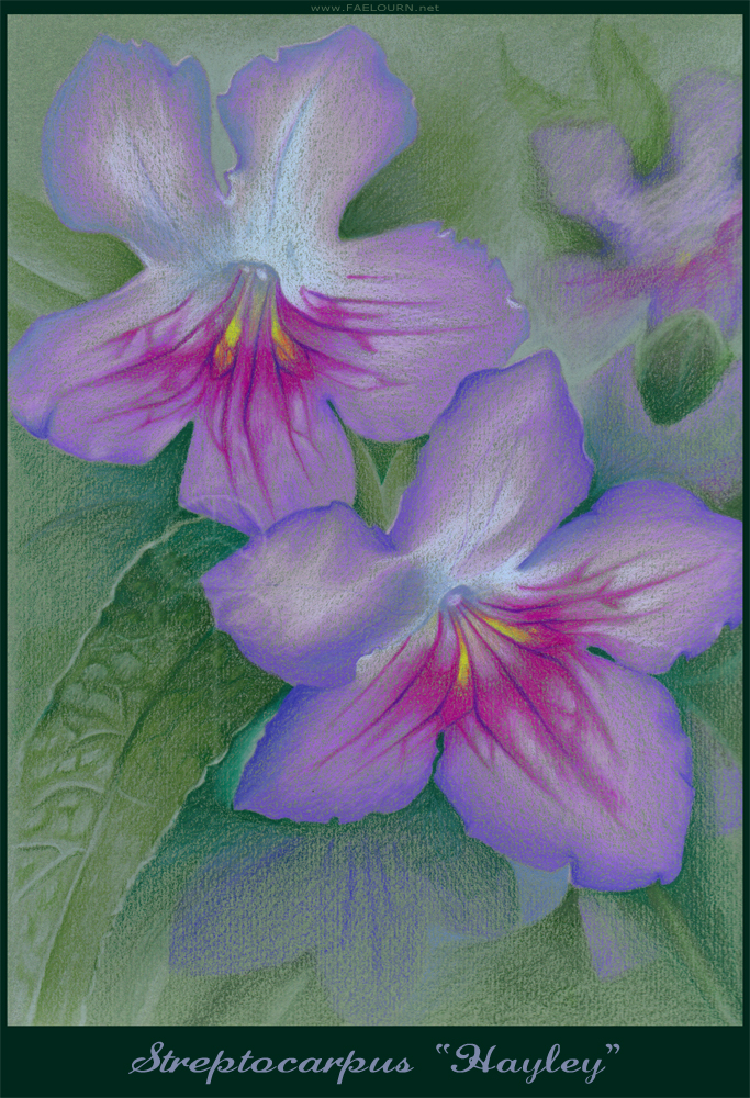 Streptocarpus Flower