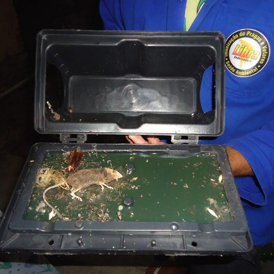 Instalação de armadilhas adesivas contra ratos