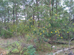 Friends of Durras recently surveyed Benandarah and Boyne State Forest