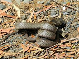 Snakes are moving into suburbia as their territory is impinged