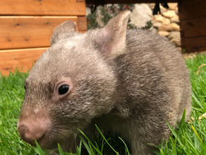 Baby Wombat In Care At Malua Bay: Wires