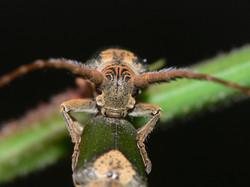 Longicorn beetle by Ian Dunn