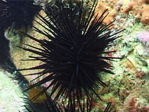 Blinkered, Indifferent or Inept : Sea urchins and the loss of opportunity