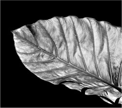 S_Elephant ear by Colin Pass