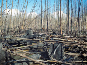 Logging and thinning of forests can increase fire risk