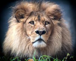 Leo the curious lion