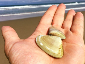 Pipis Make Great Bait But Don't Collect Them Off NSW Beaches To Eat