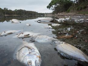 Fish kill at Moruya shows coastal environment under threat