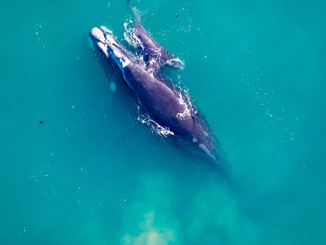 Whale and calf call into Long Beach