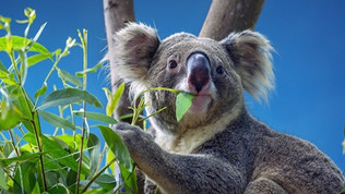 Local Koala Recovery Strategy Challenges Our Willingness to Act