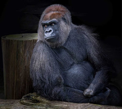 Silver - Gorilla by Dave Kemp