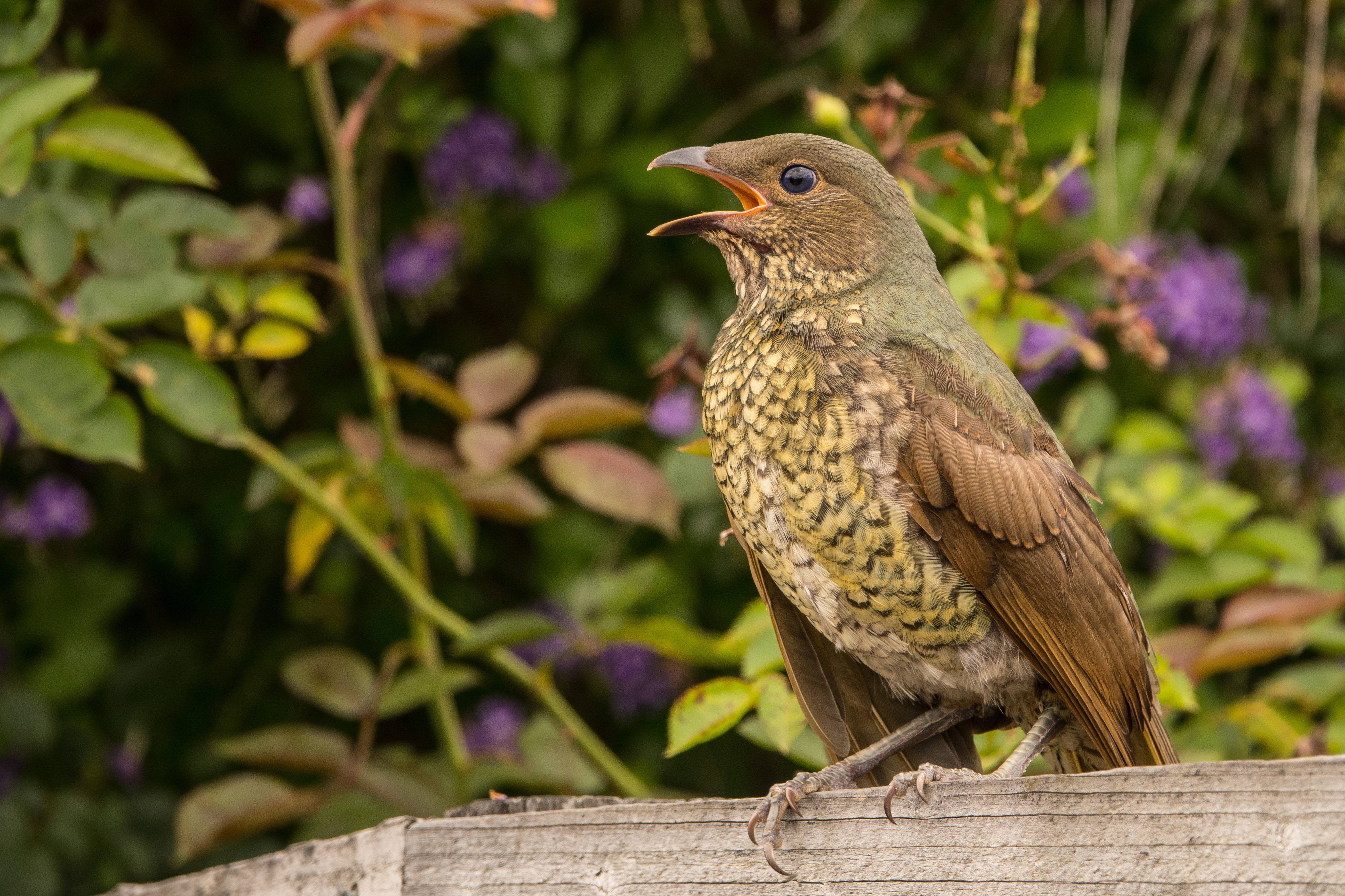 Satin Bowerbird Anne Brown