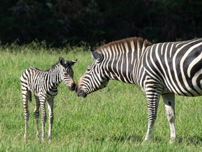 Mogo Zoo has a new zebra foal