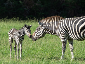 Mogo Zoo has a new zebra foal