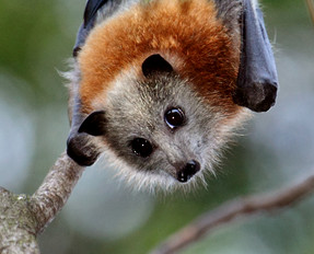 Record low flying foxes