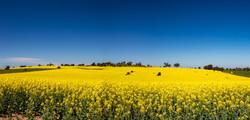 Gorious conola fields