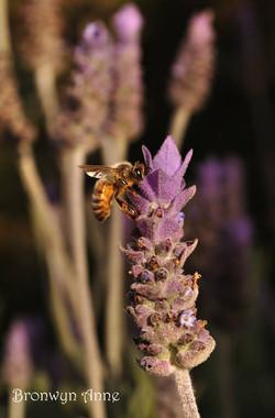Bronwyn Anne Lavender Garden