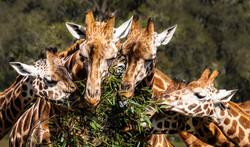 Giraffe heads by Rob Geraghty