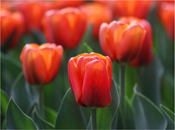 Red Tulip by Brian Gunter