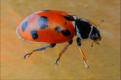 B Silver - Ladybird