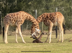 Mogo Wildlife Park welcomes a new 'little' arrival – close to 6 foot tall!
